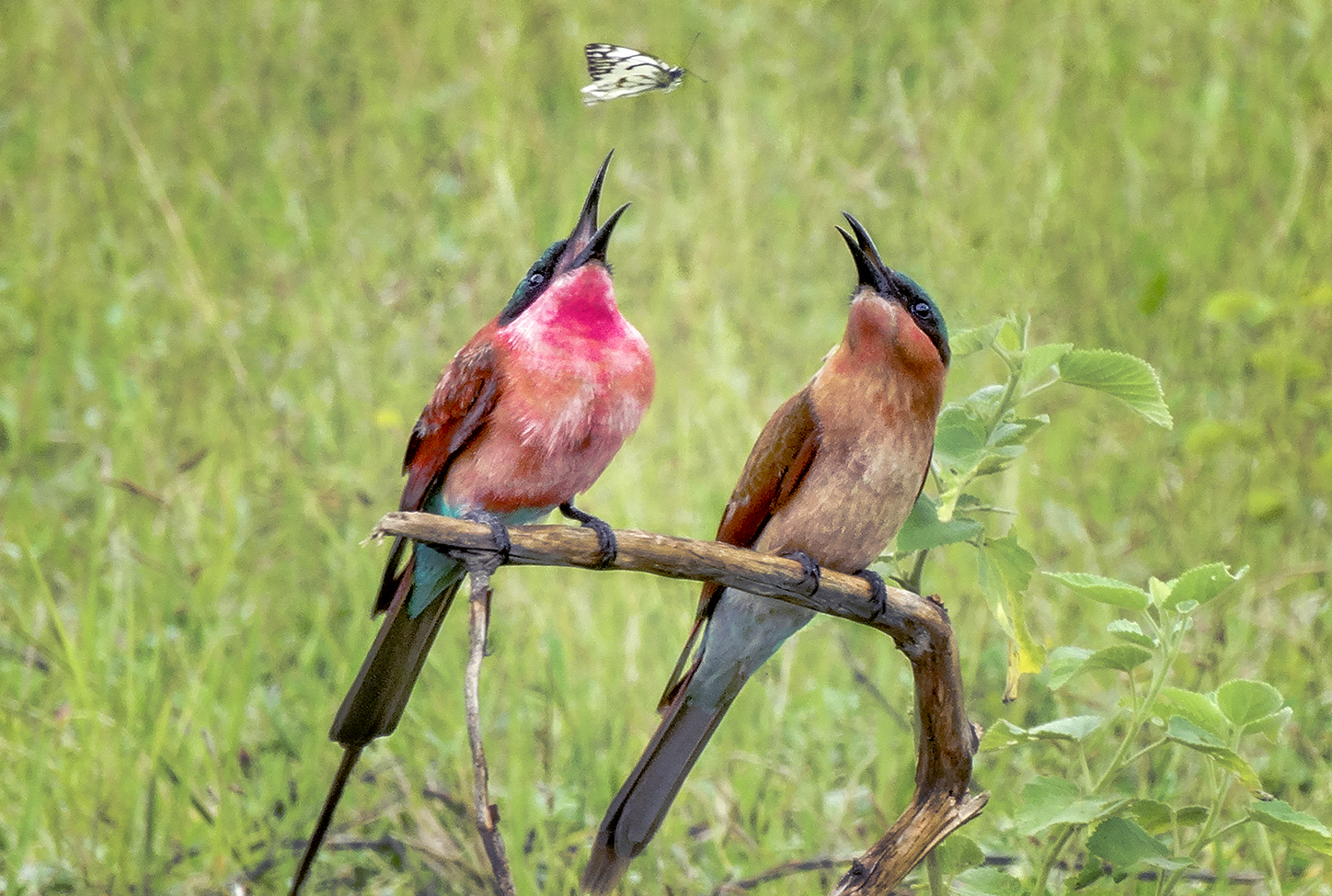 Hapless Butterfly And Bee Eaters Zambia