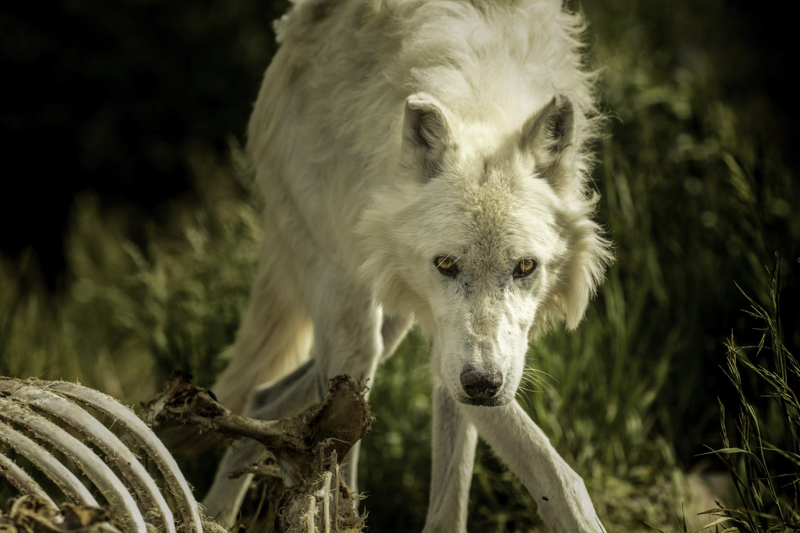 Through the eyes of a wolf