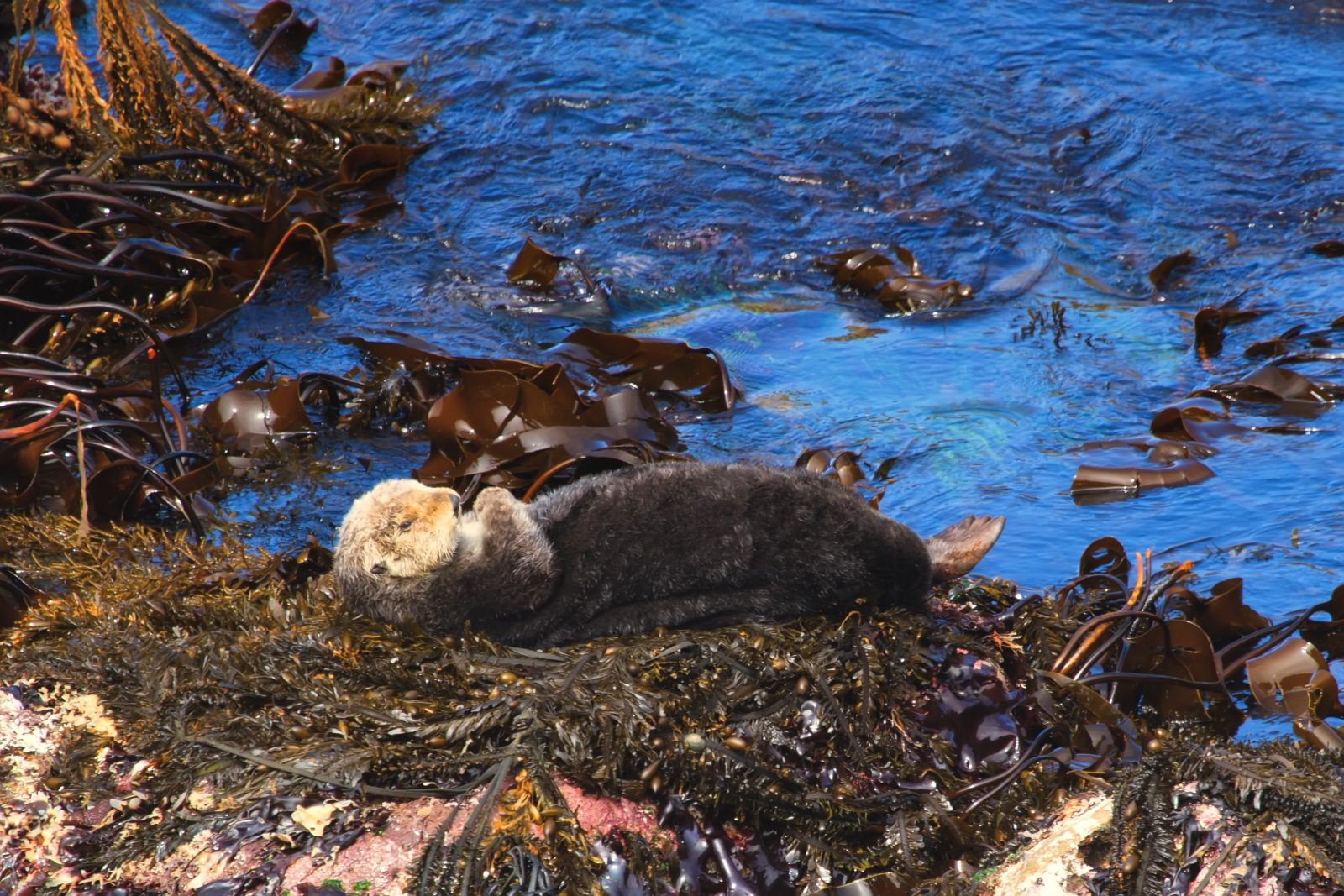 Warm and Furry Sea Otter Sunning on the Rock
