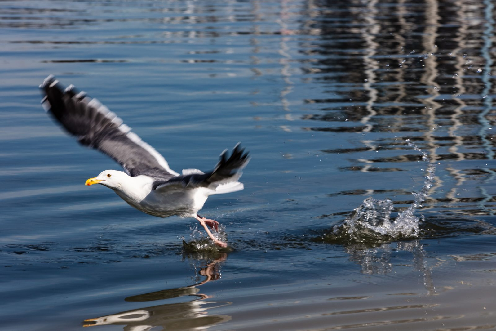 Gull Takeoff and Reflections