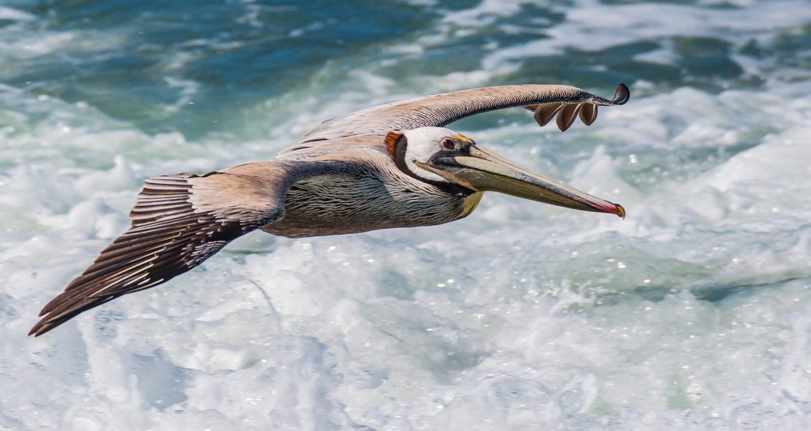 Pelican Above The Surf