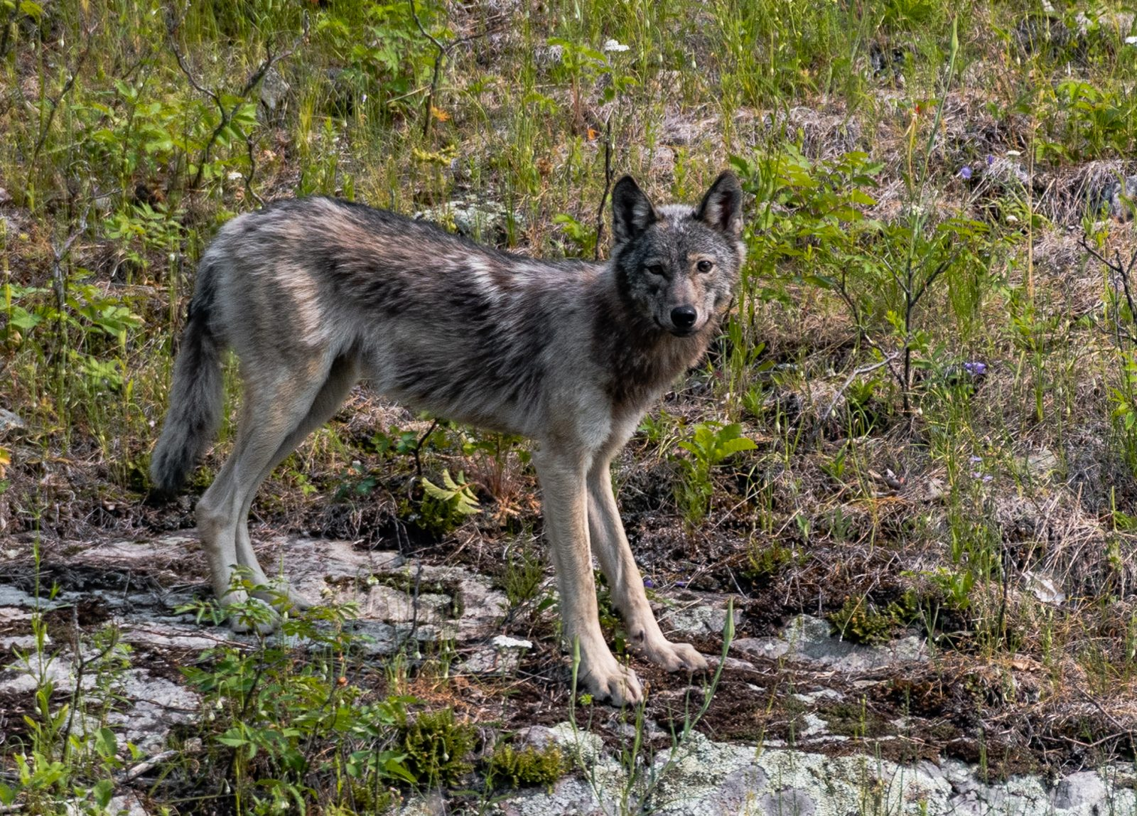 Gray (Timber) Wolf