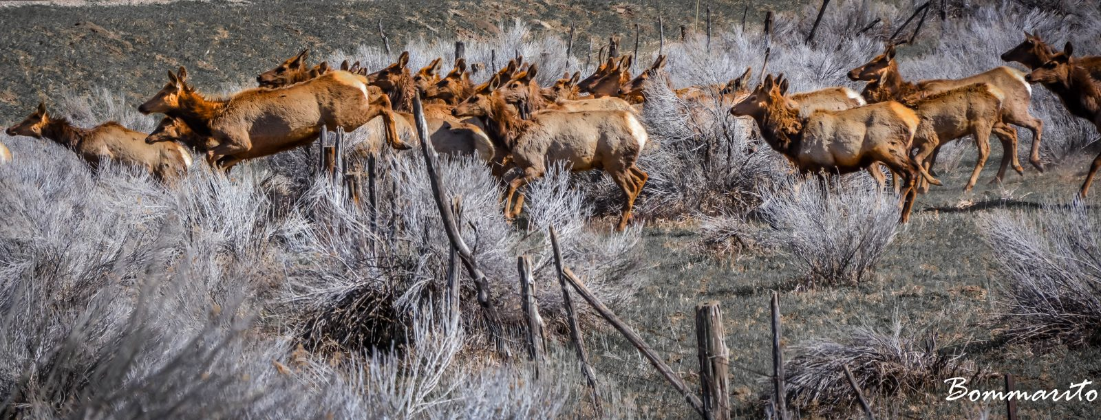 Elk on the move.