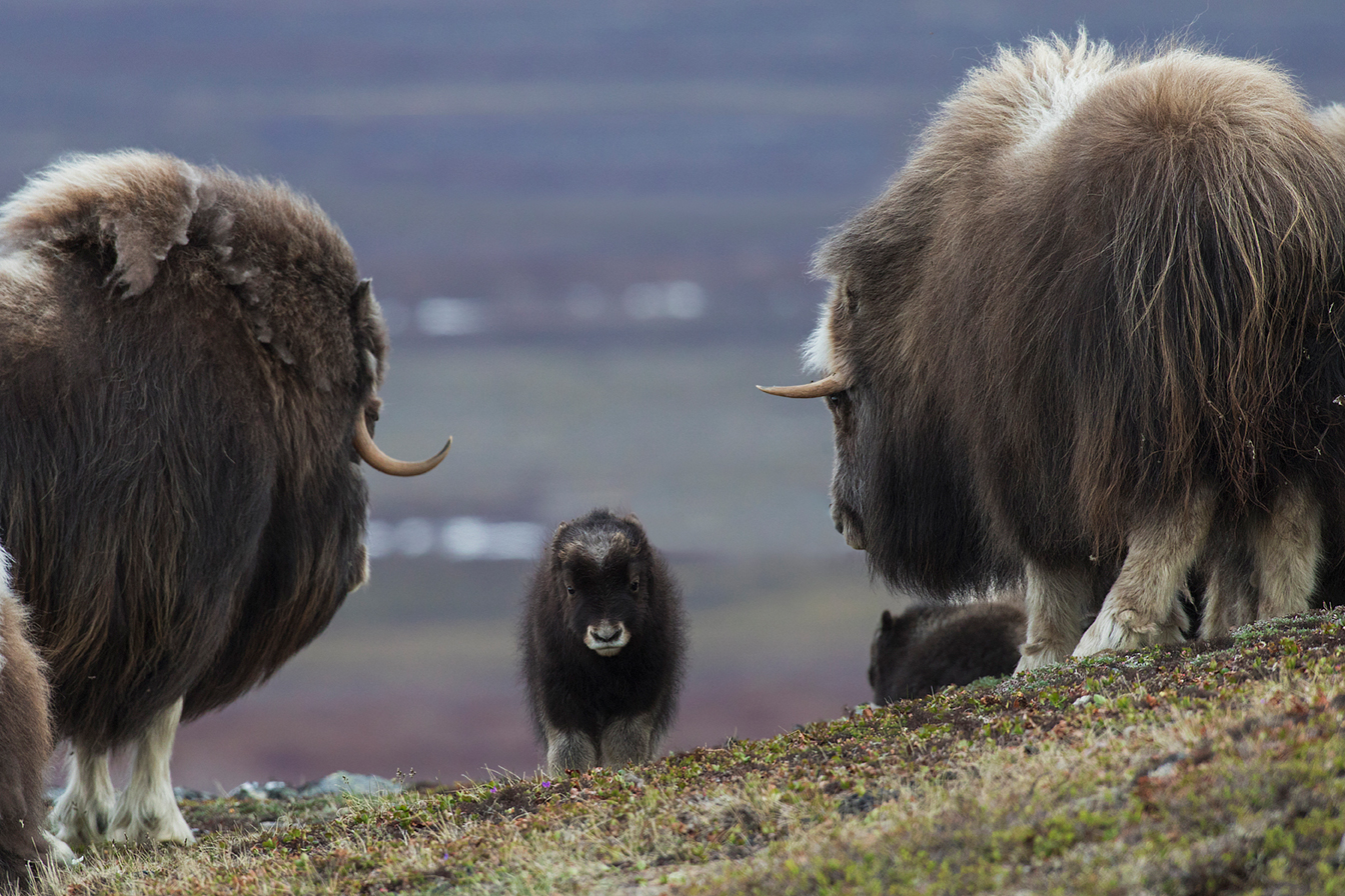 Musk Ox Youngster
