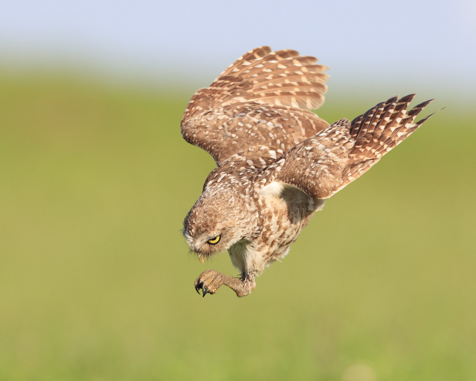 Burrowing Owl diving for a snack