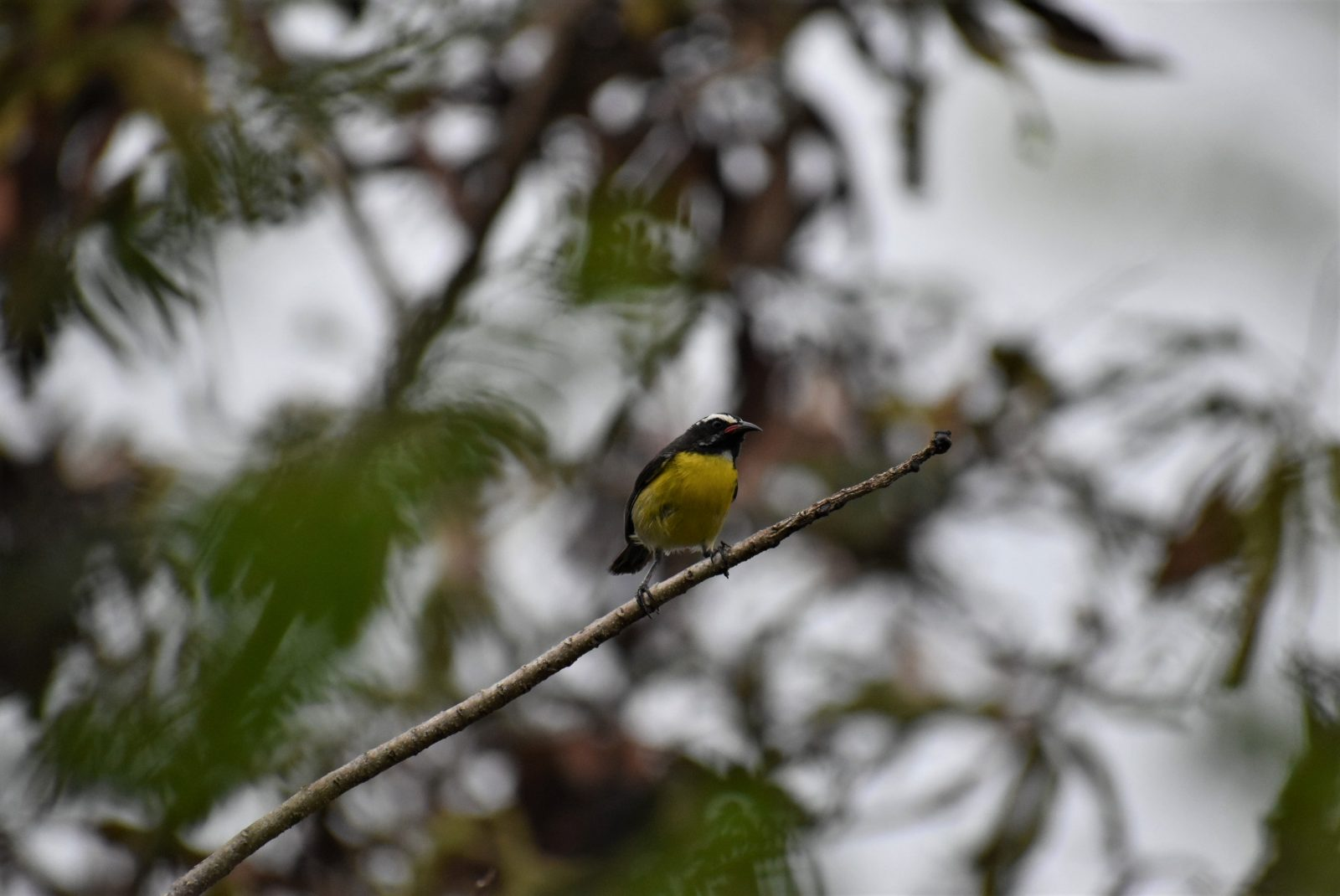 Yellow Breasted Finch