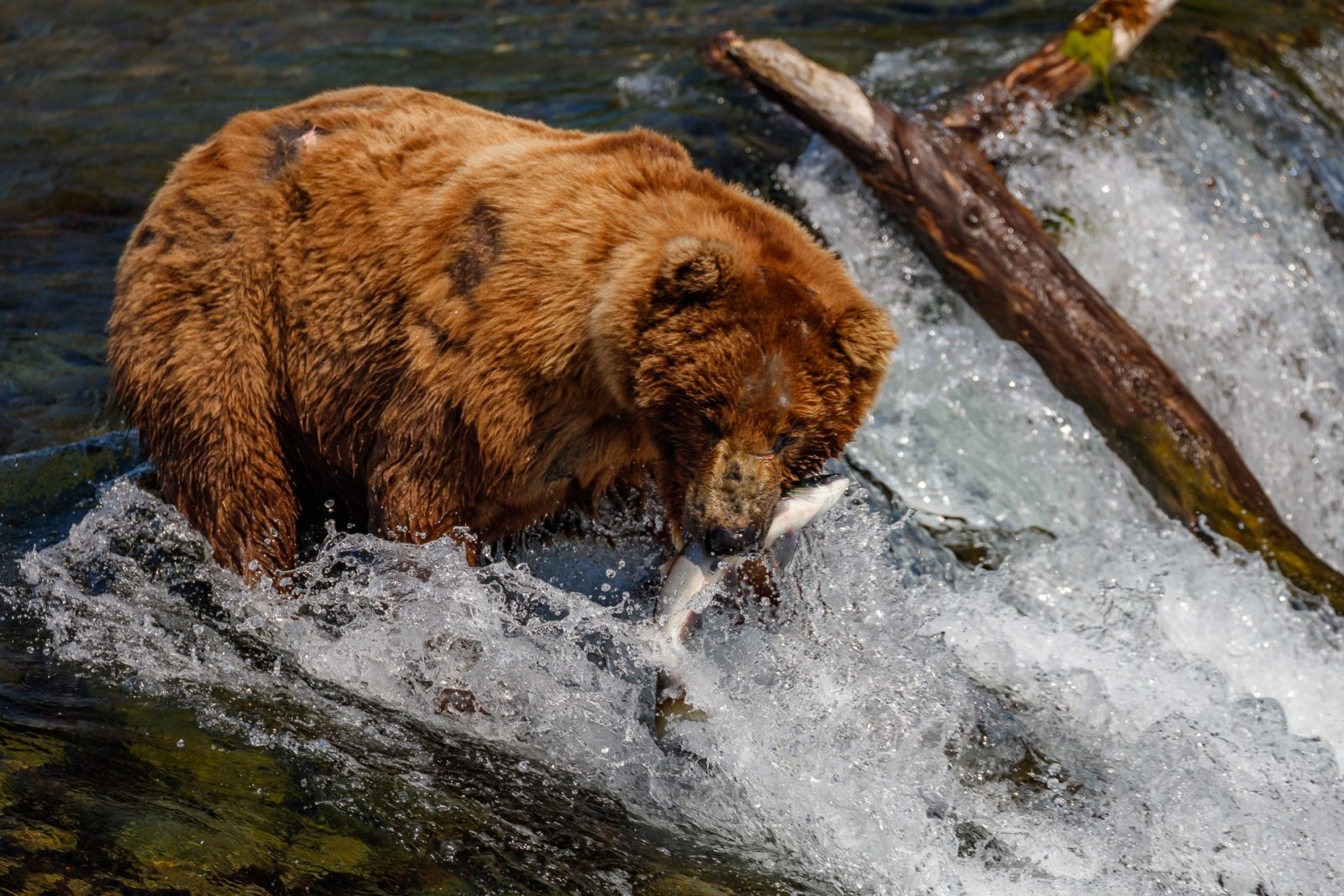 Bear and Salmon