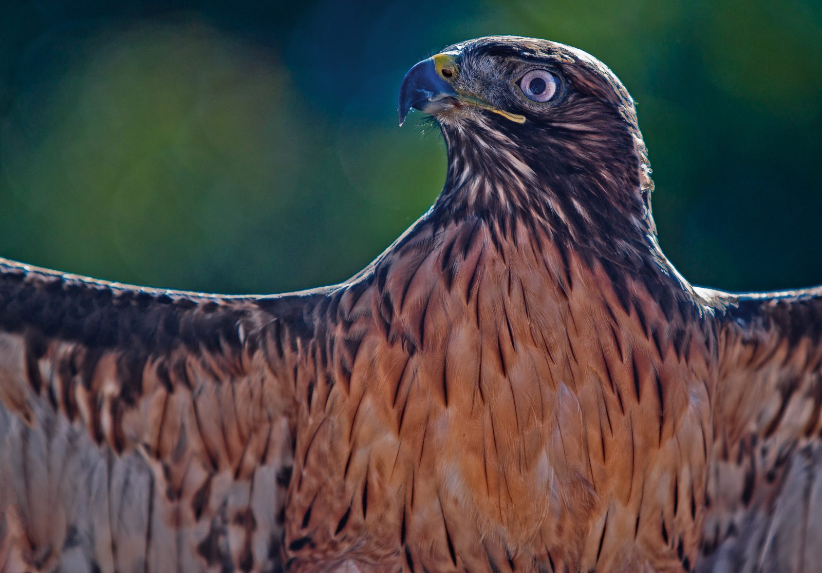 Sunning Red-tail