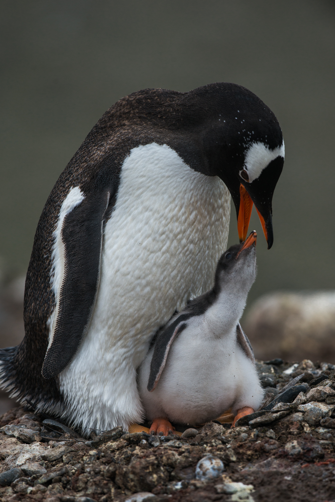 Penguin mom attends to her chick