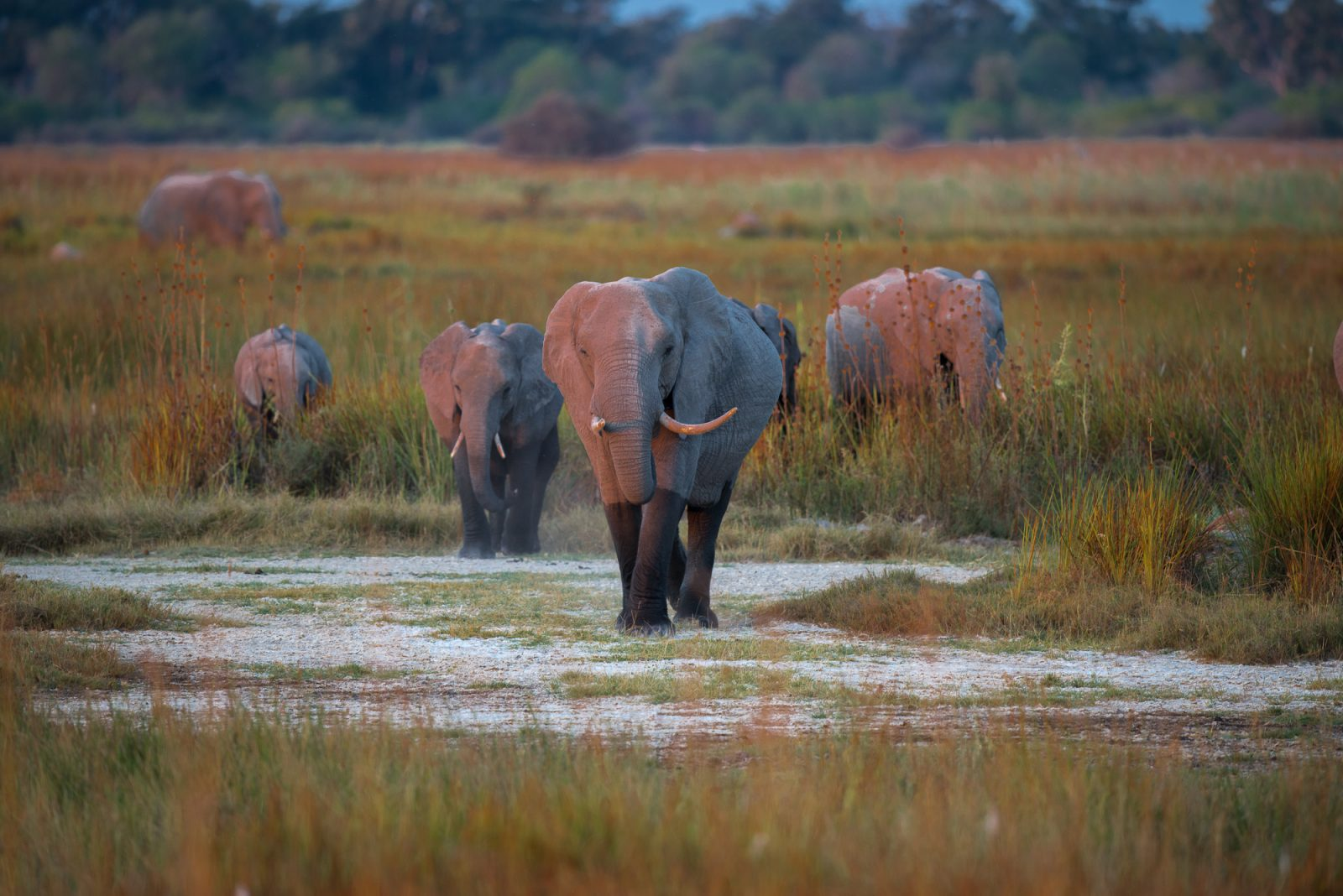 Elephants out of the wetlands