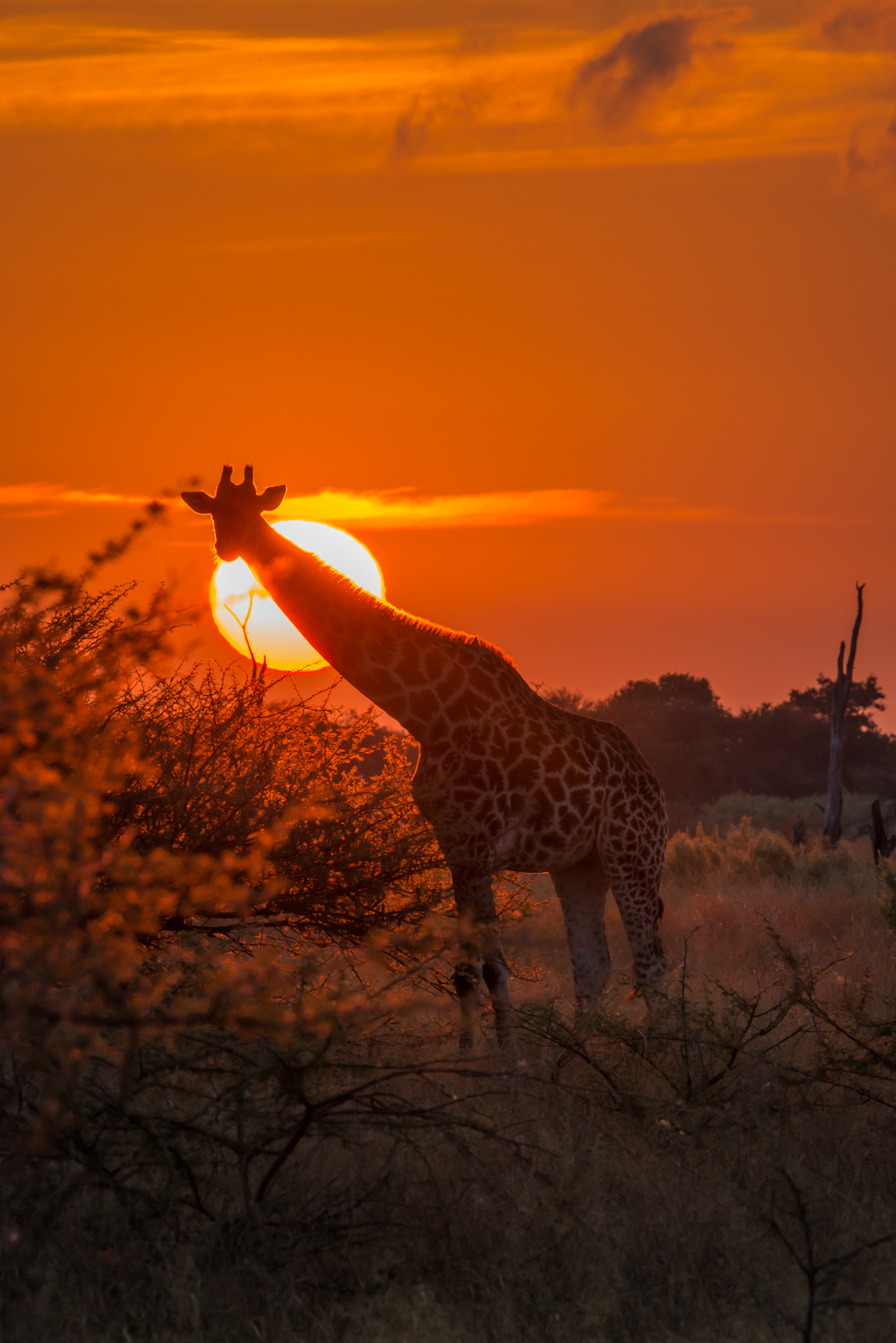 Giraffe and sun at dawn