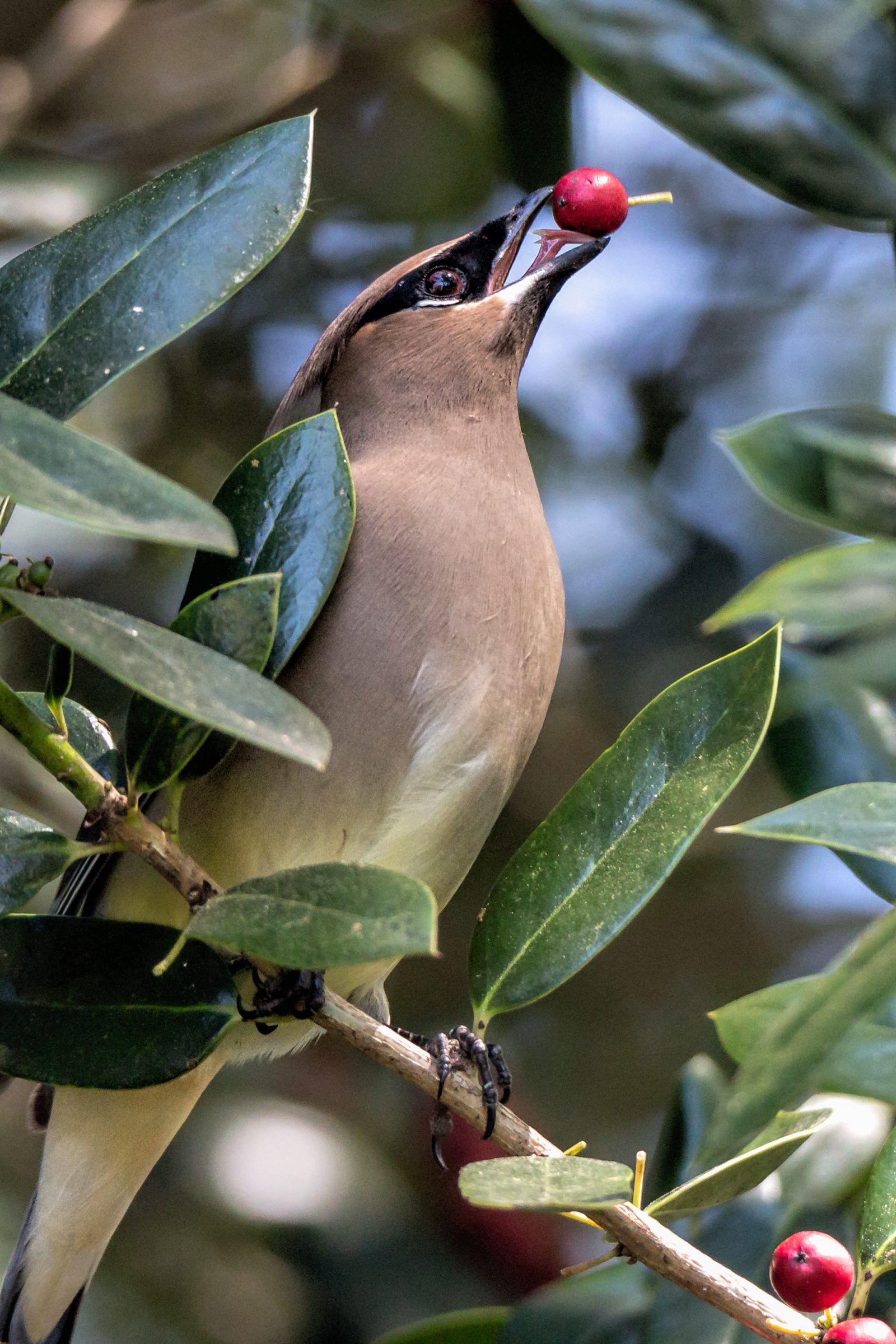Cedar Waxwing with Holly Berry