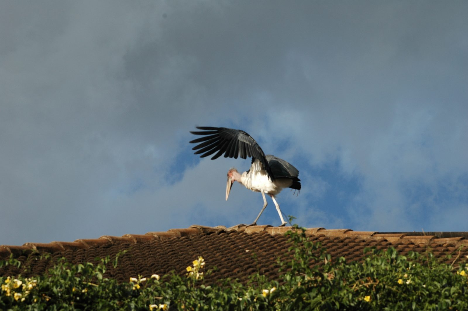 stork on rooftop