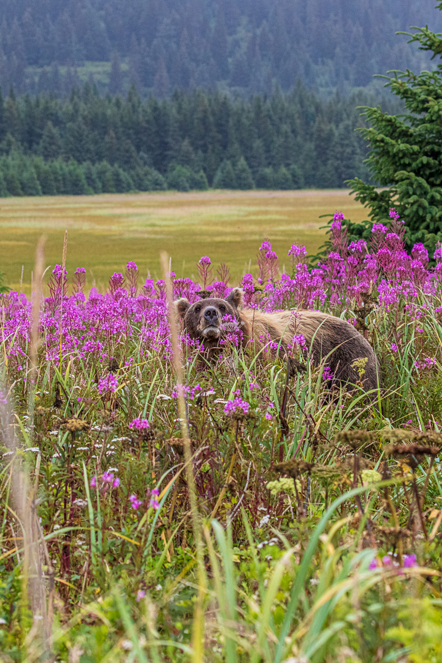 Tiptoe Through the Fireweed