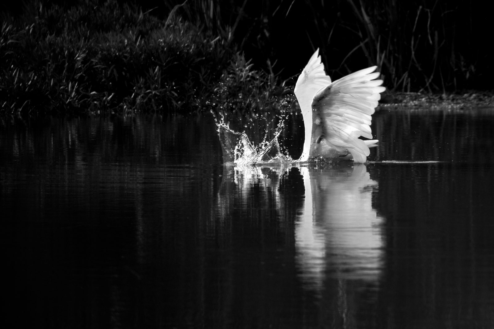 The Very Hungry Egret