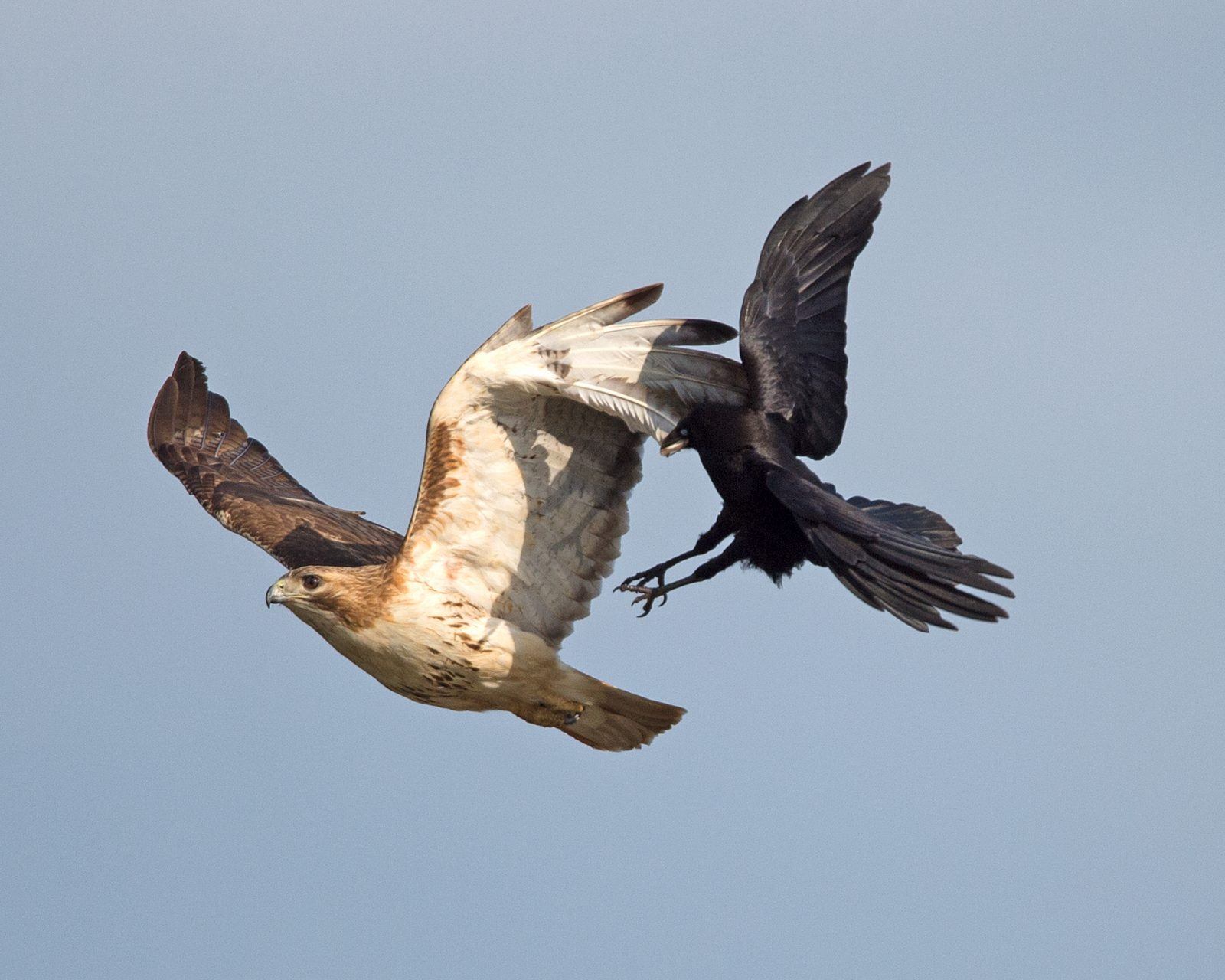 American Crow Seizing the Wing of a Red-tailed Hawk