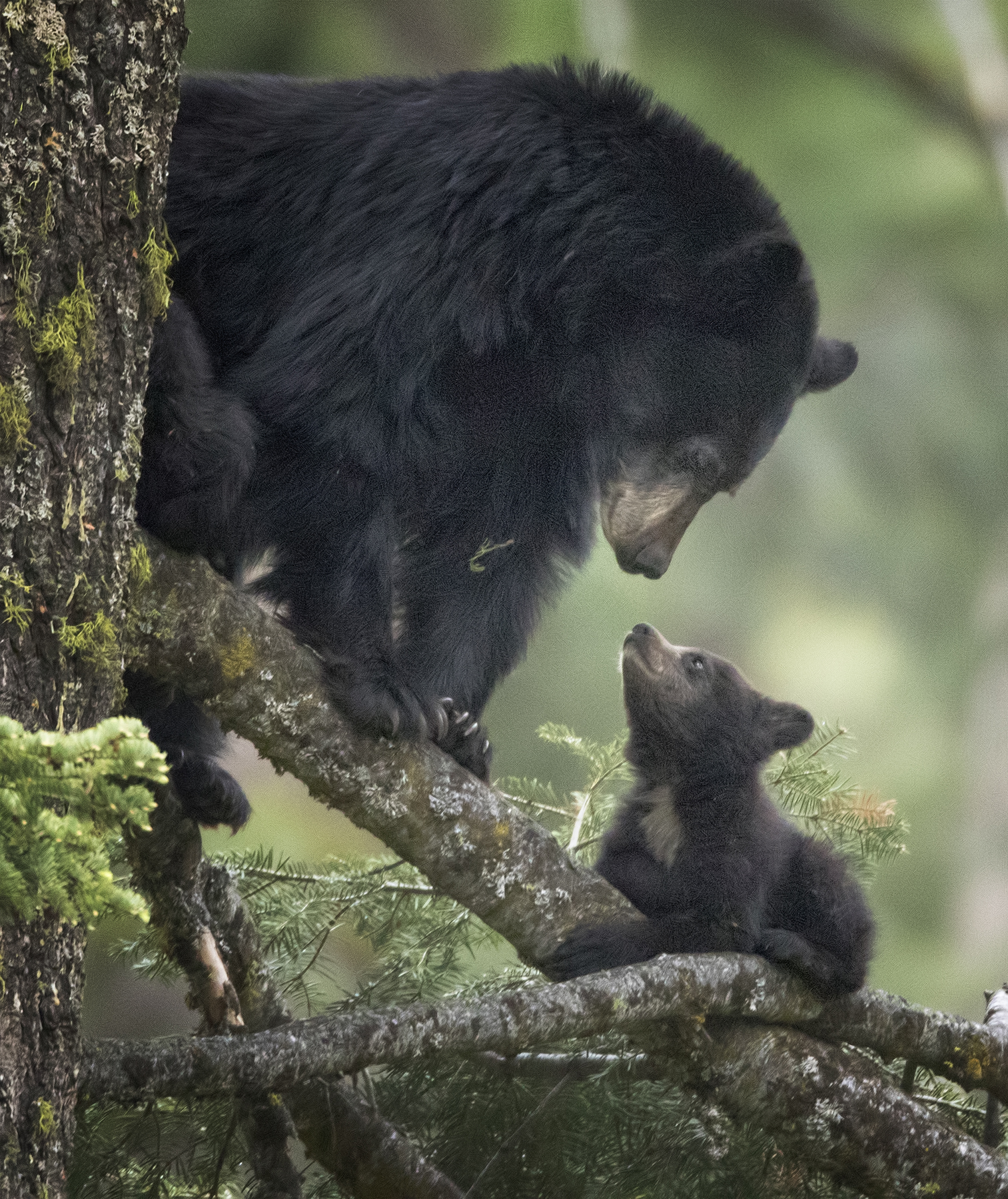 Mother Blackbear and Cub
