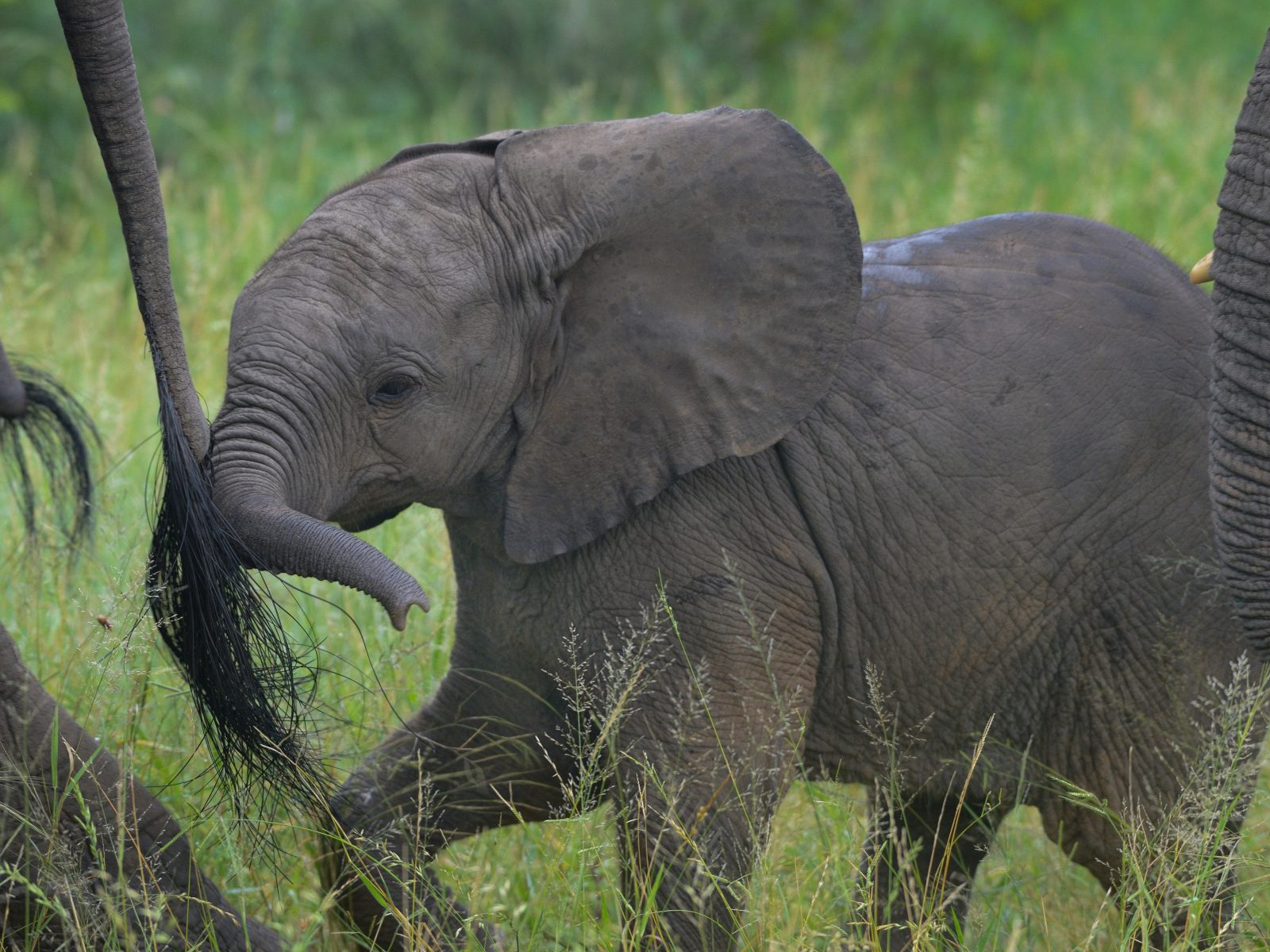 Elephant Calf with Protective Herd
