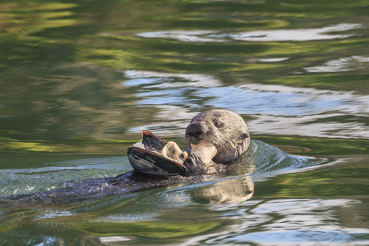 Otter In The Water, Eating Fish Stock Image - Image of ... |Sea Otters Eating Bears