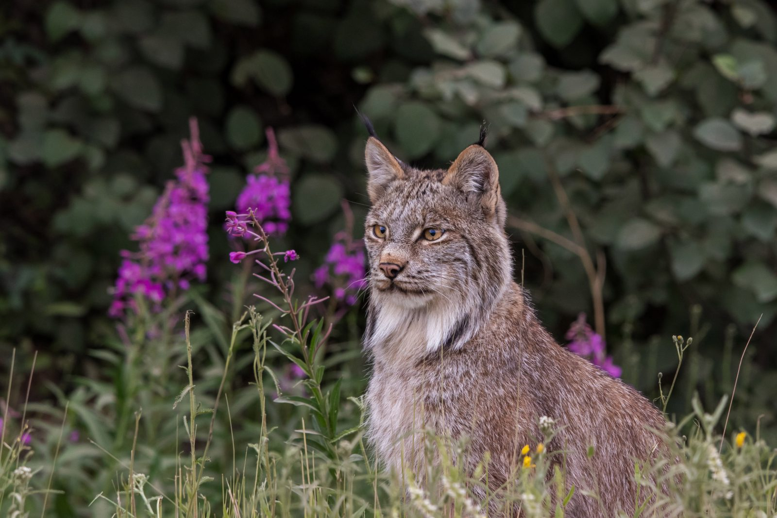 Lynx and Fireweed