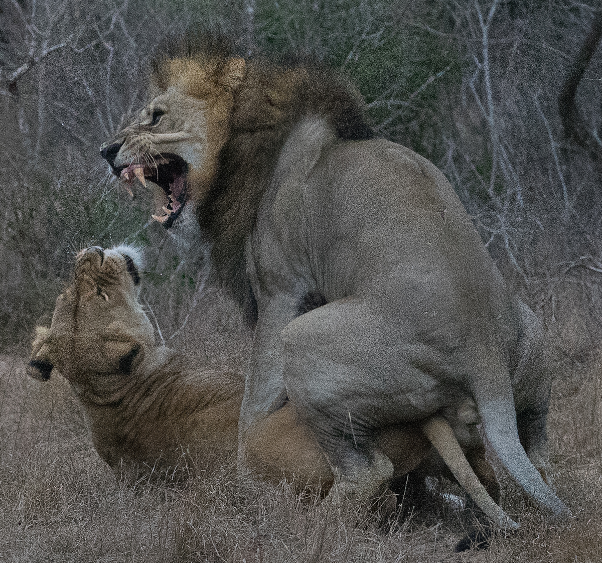 Lions Mating at Dawn
