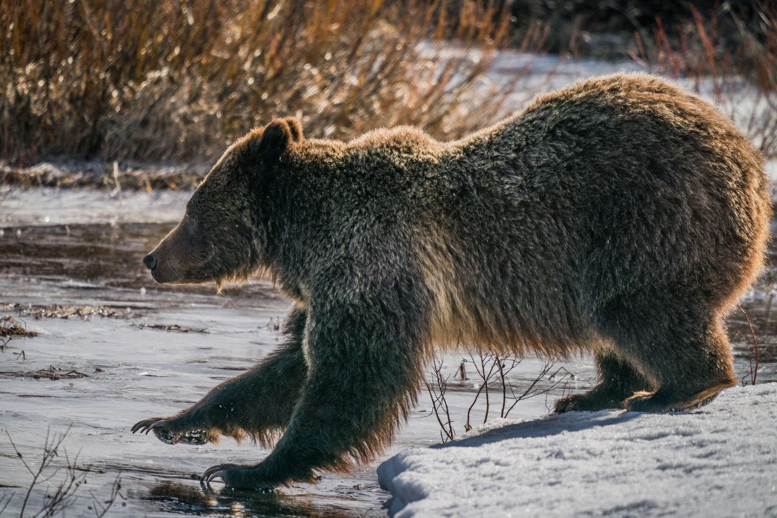 Grizzly tests the ice