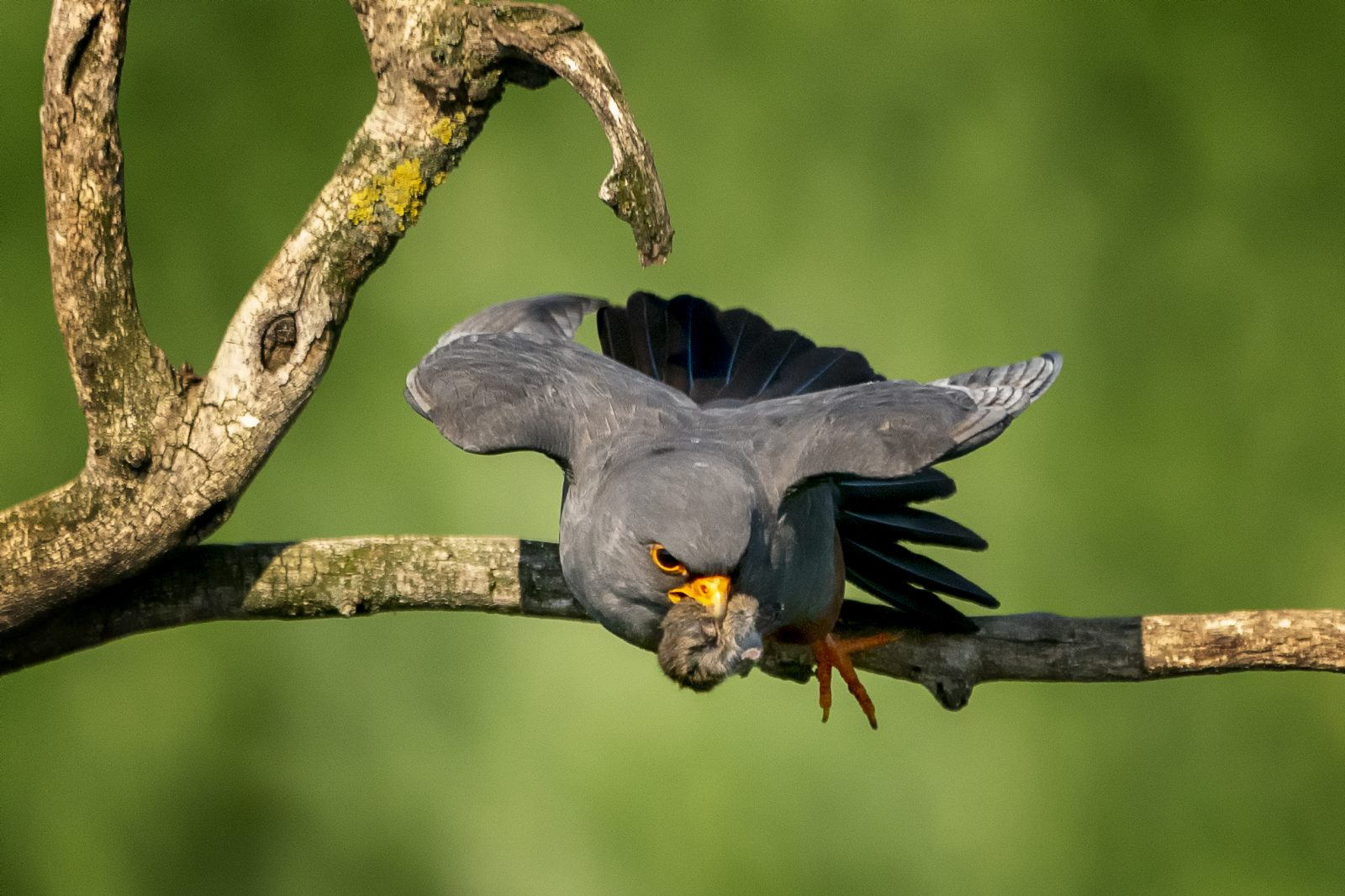 Red Footed Falcon with Food