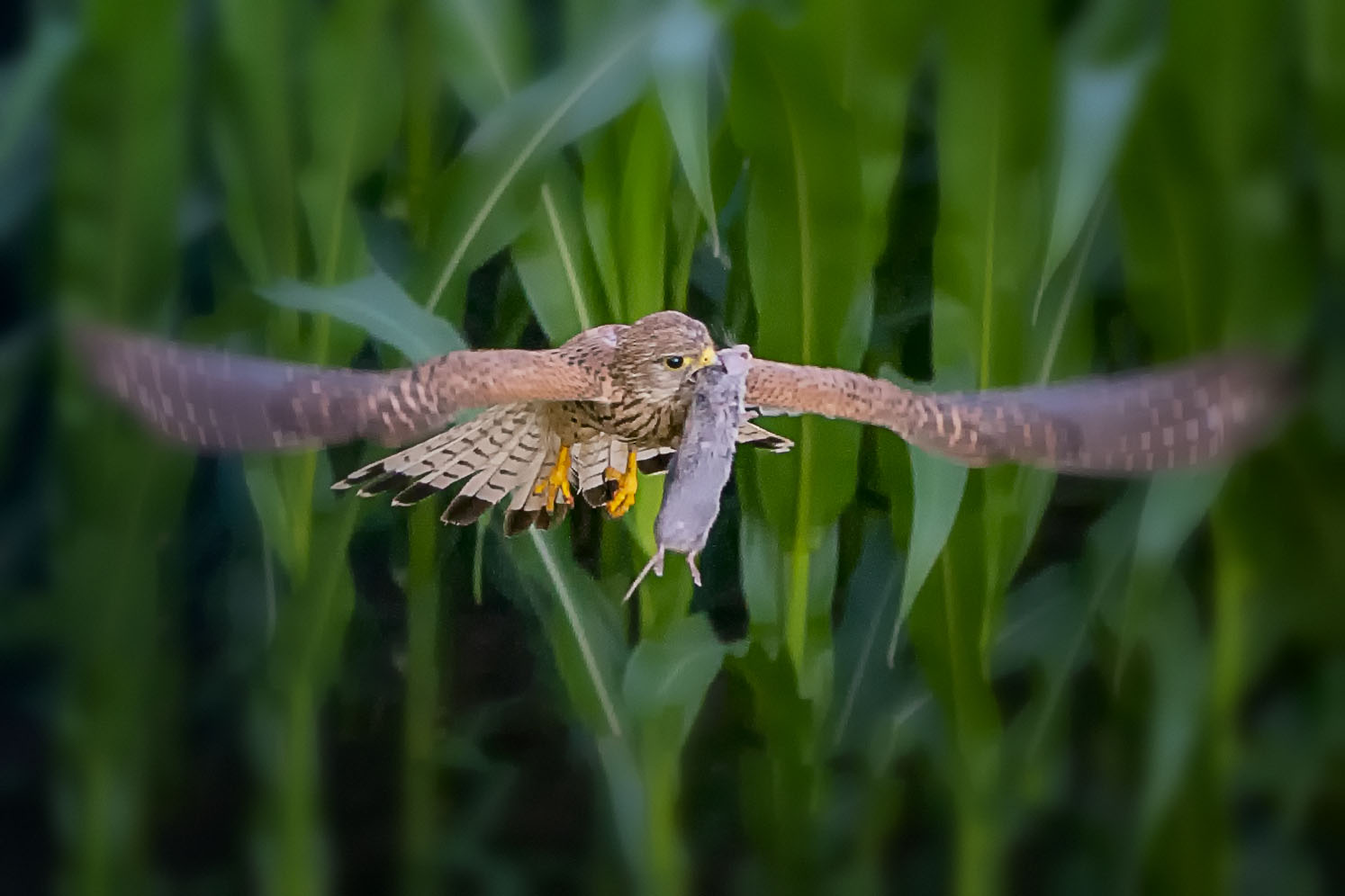 Kestrel with food