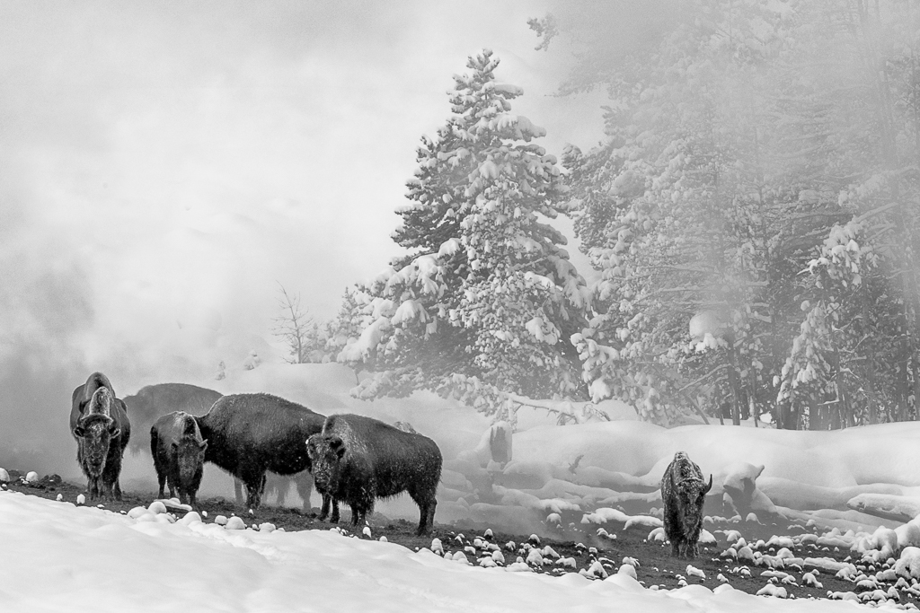 Bison in heavy Snowfall