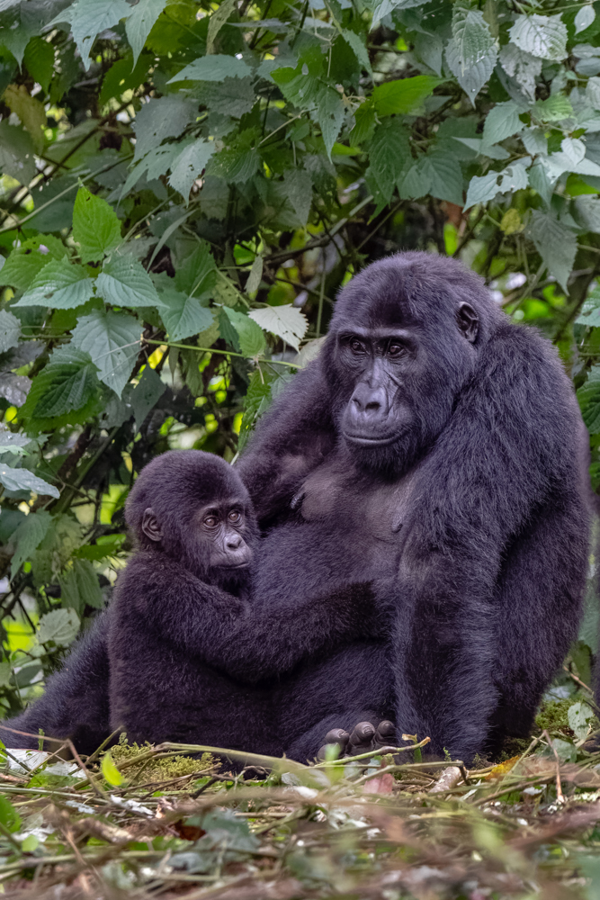 Gorilla Mother and Baby-1