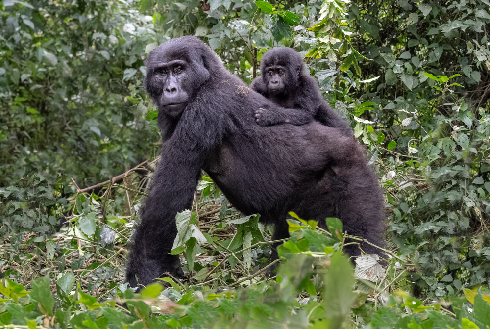 Gorilla Mother and Baby-3