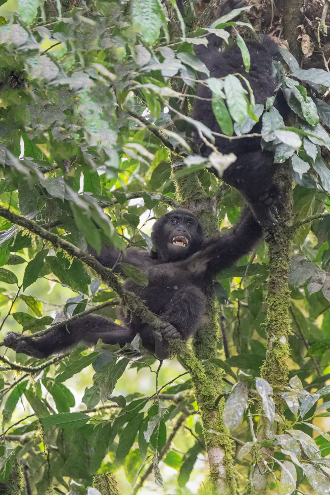Gorilla Youngster in Tree