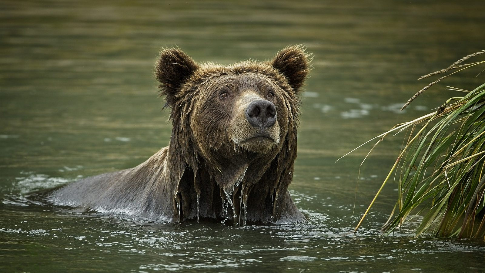 Grizzly boar diving for dead salmon near Devils Cove in Katmai NP