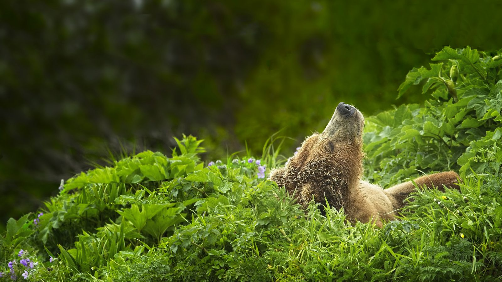 Grizzly Sow – Afternoon Nap