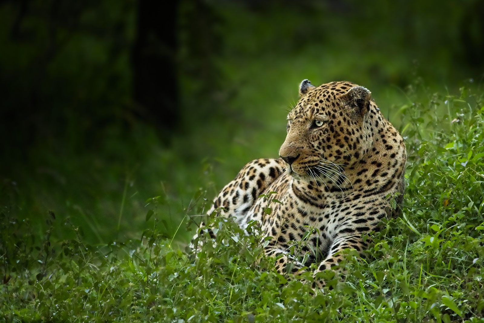 Leopard Relaxing Before the Hunt