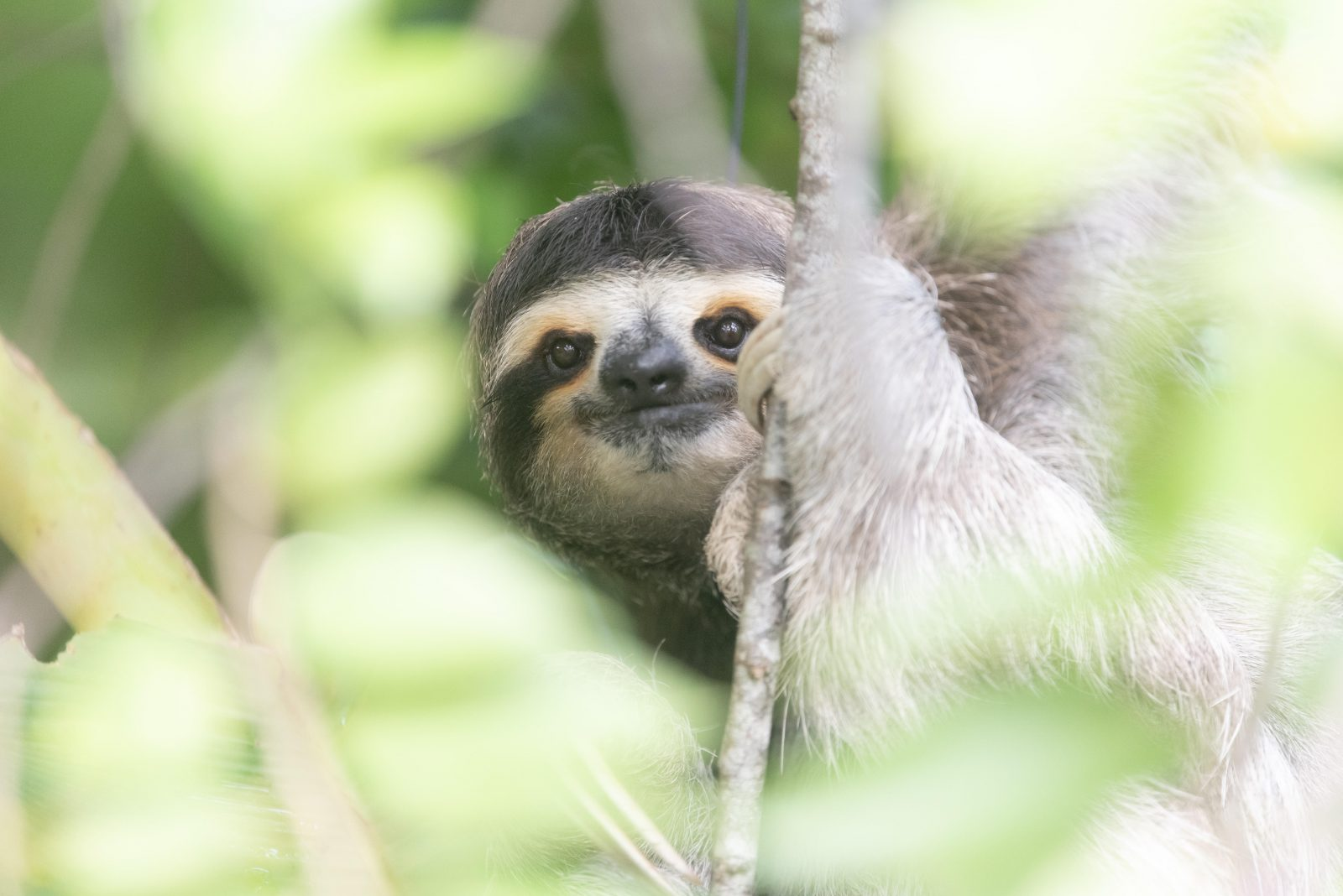 Three-fingered sloth in Costa Rica