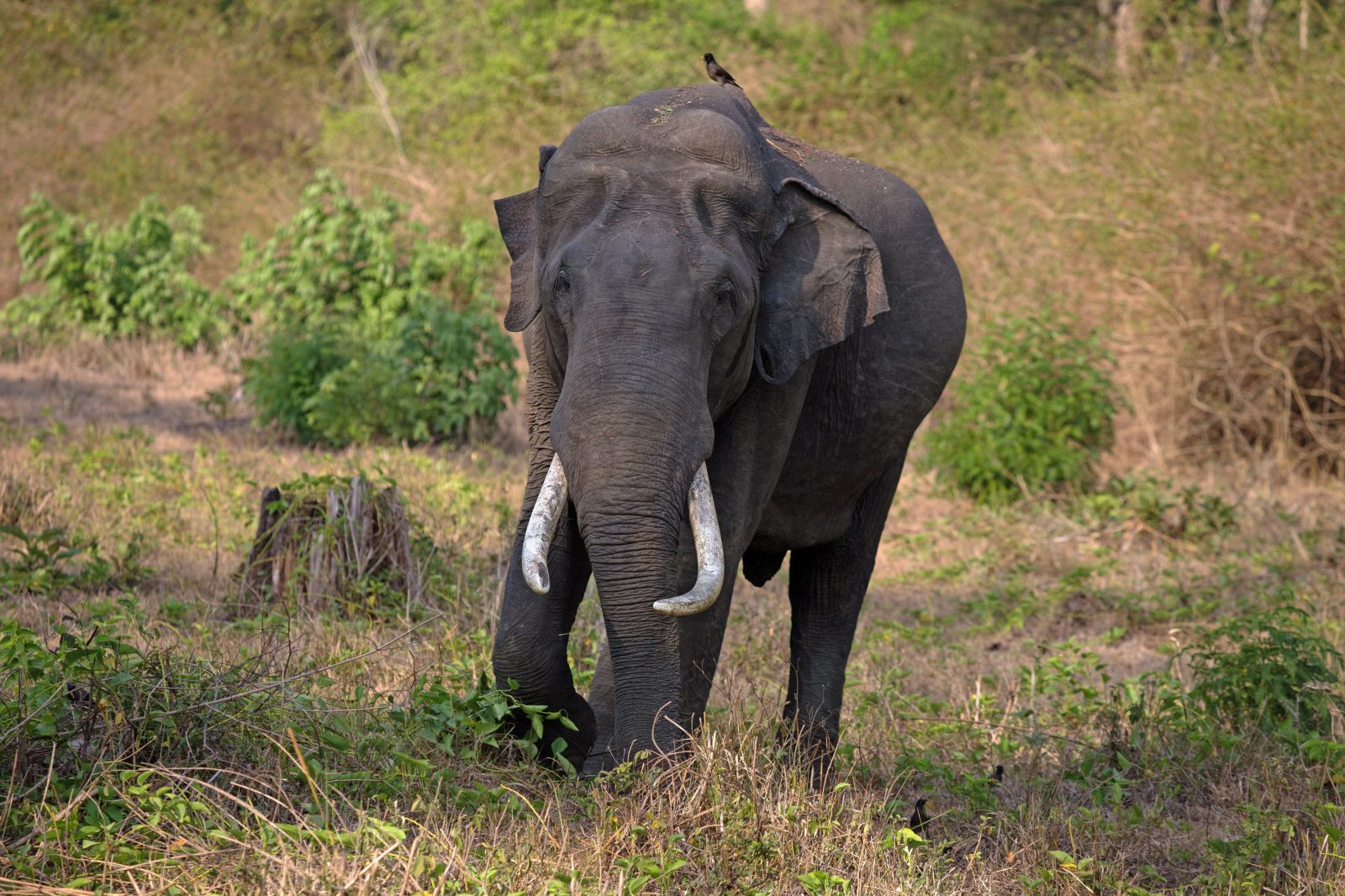 Tusker in Tiger reserve