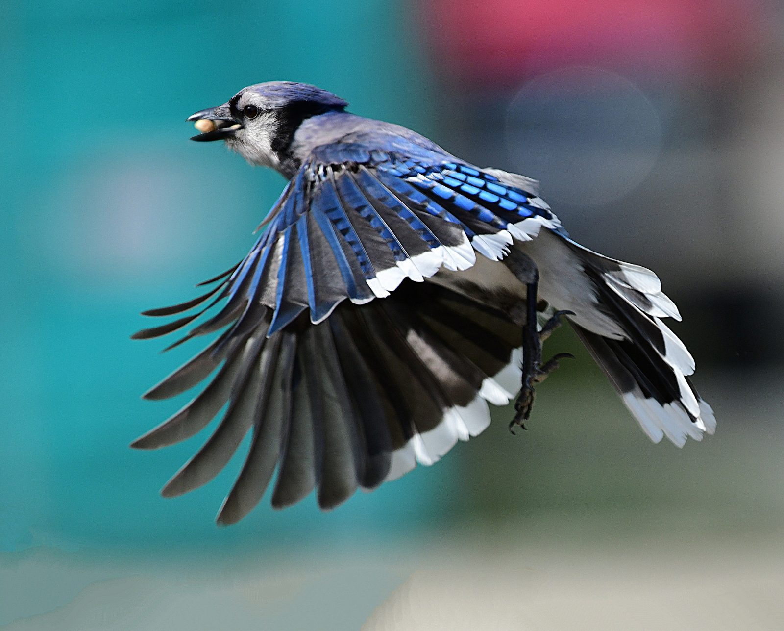 Blue Jay Gets His Way