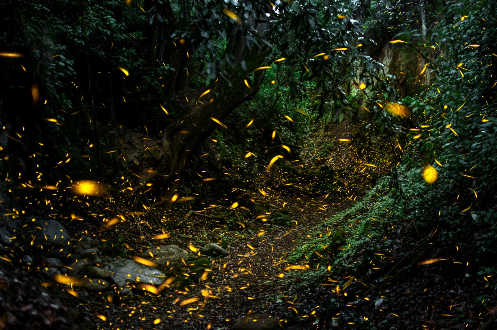 The dance of the fireflies in the Emerald Forest
