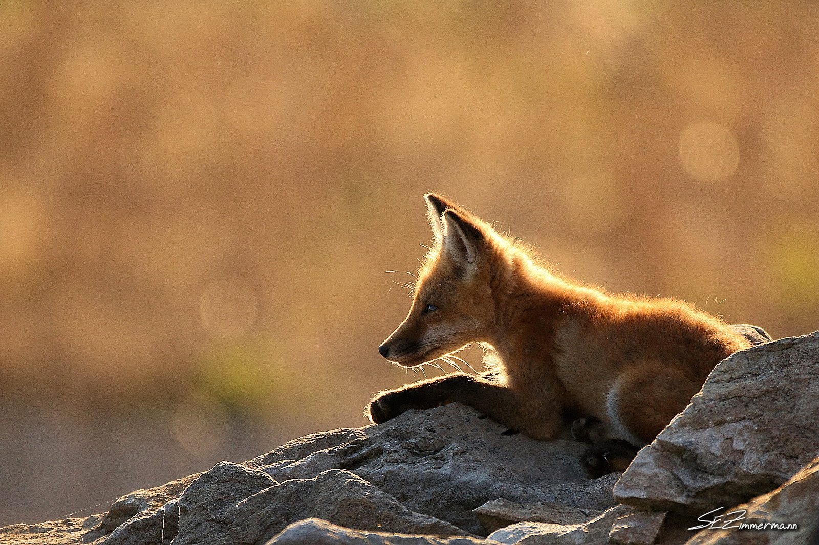 Fox Overlooking its Domain
