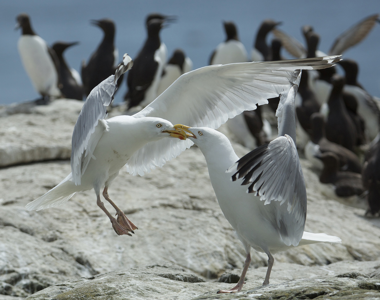 lesser black-backed gulls in conflict
