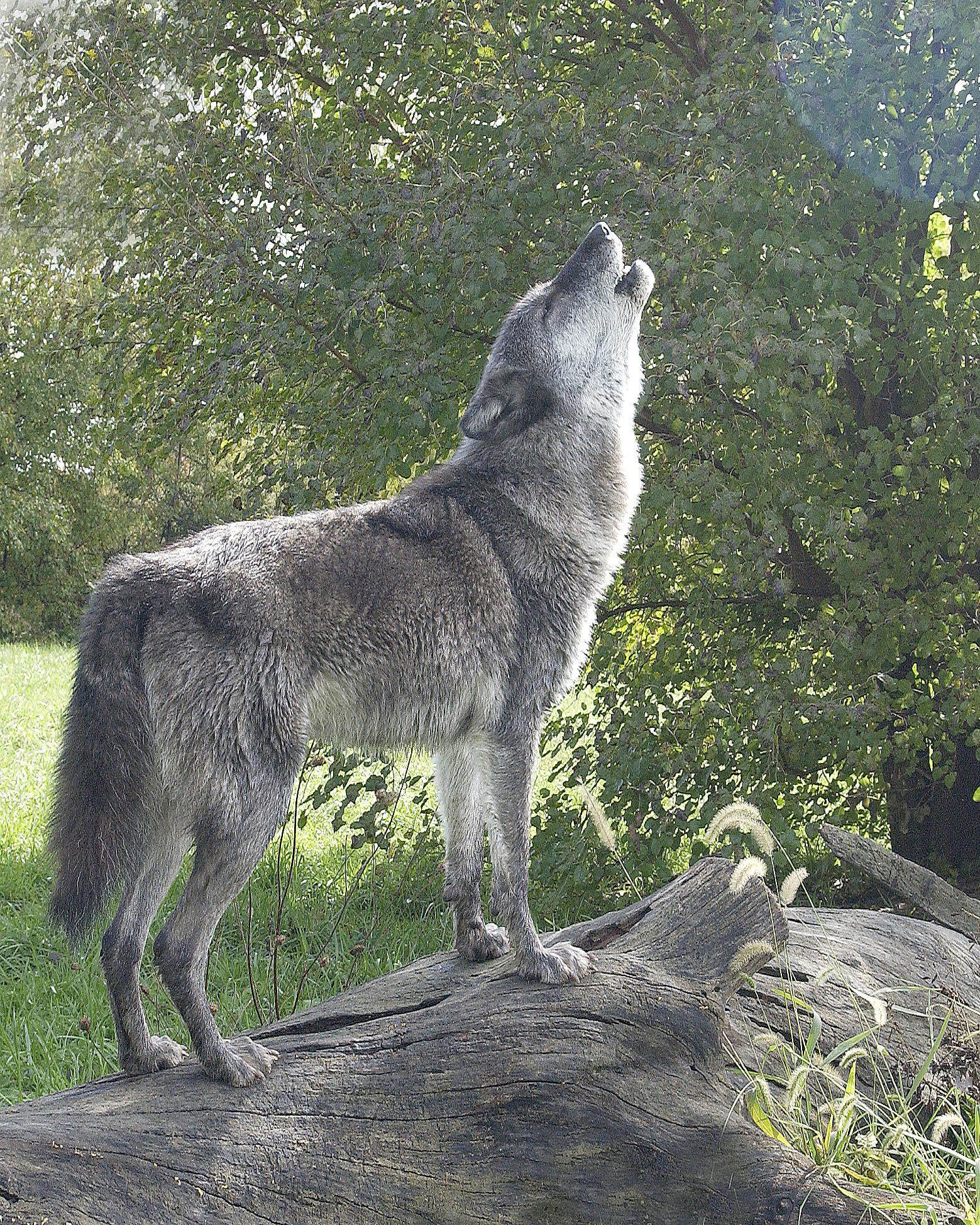 Holling Wolf