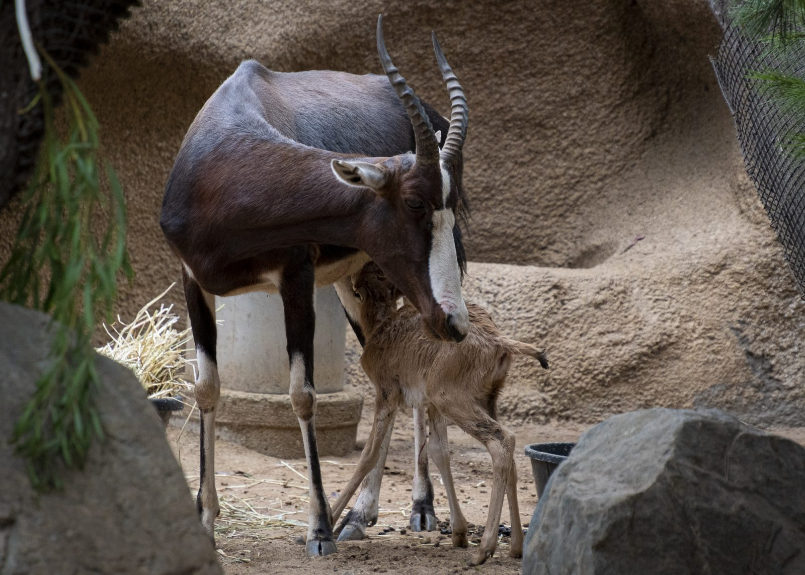 Unsteady But Hungry: A Baby Bontebok Tale