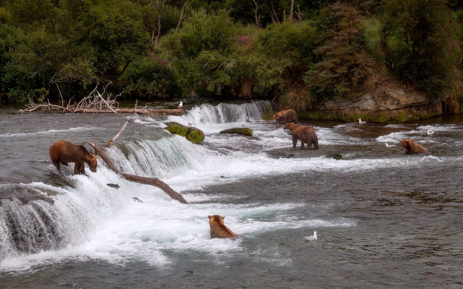 Salmon run at Katmai NP
