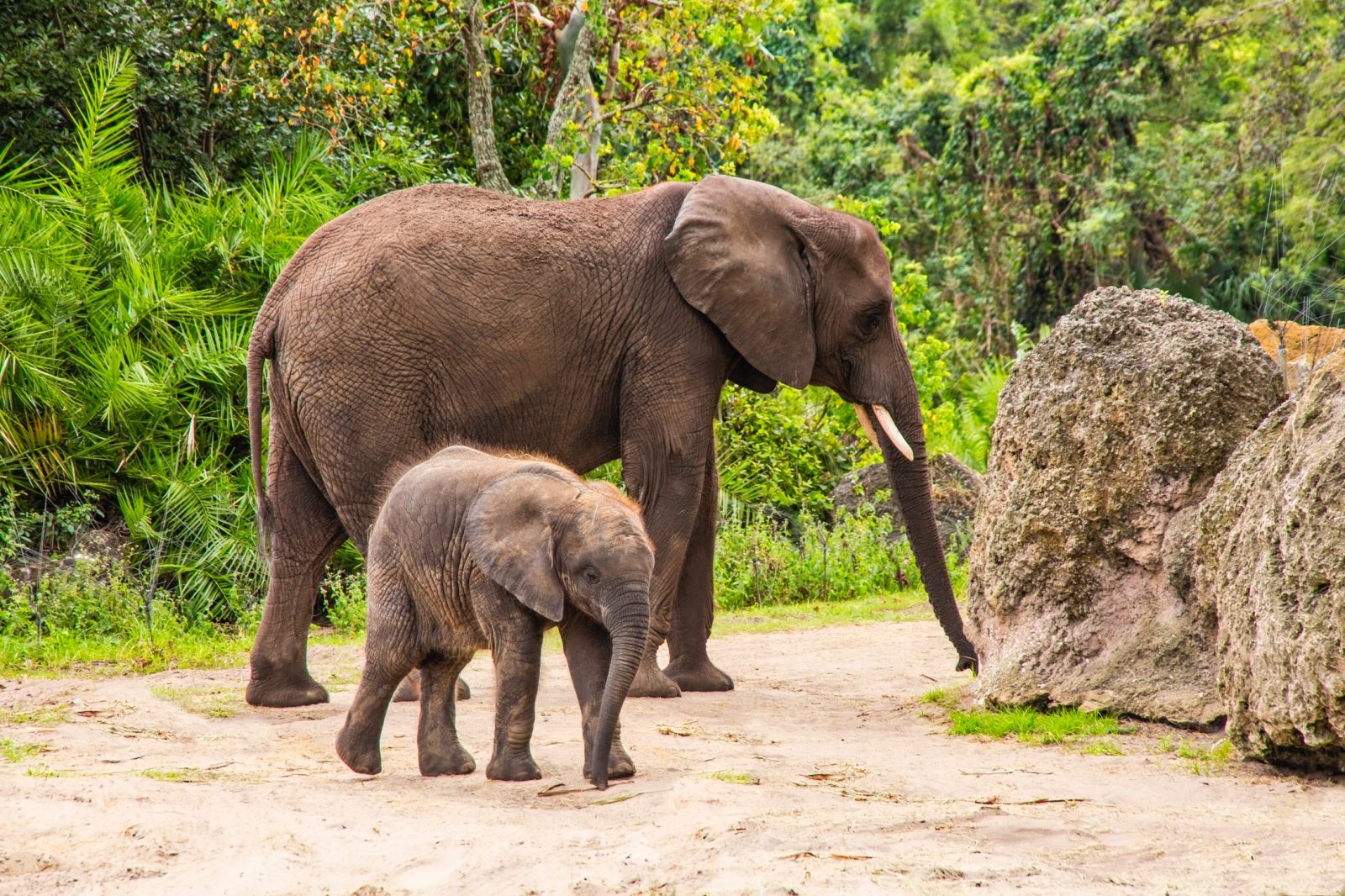 Elephants up close – mother and young