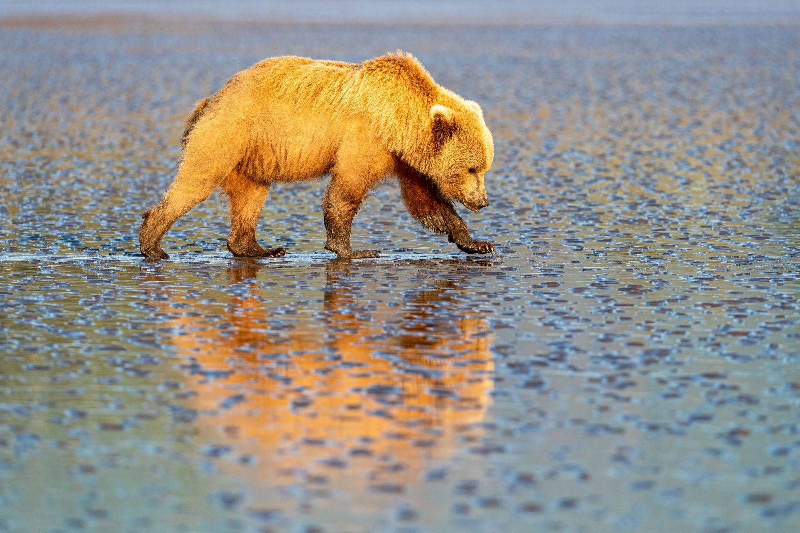 Coastal brown bear searching for clams