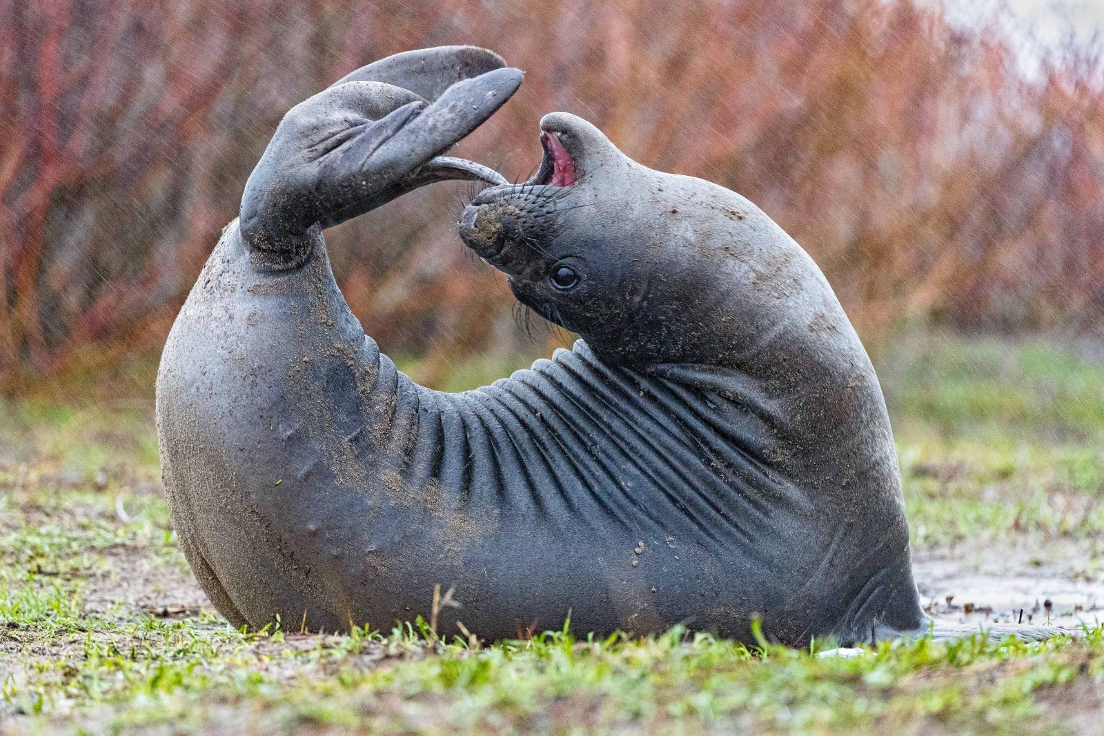 Newly weaned Northern elephant seal playing with her tail