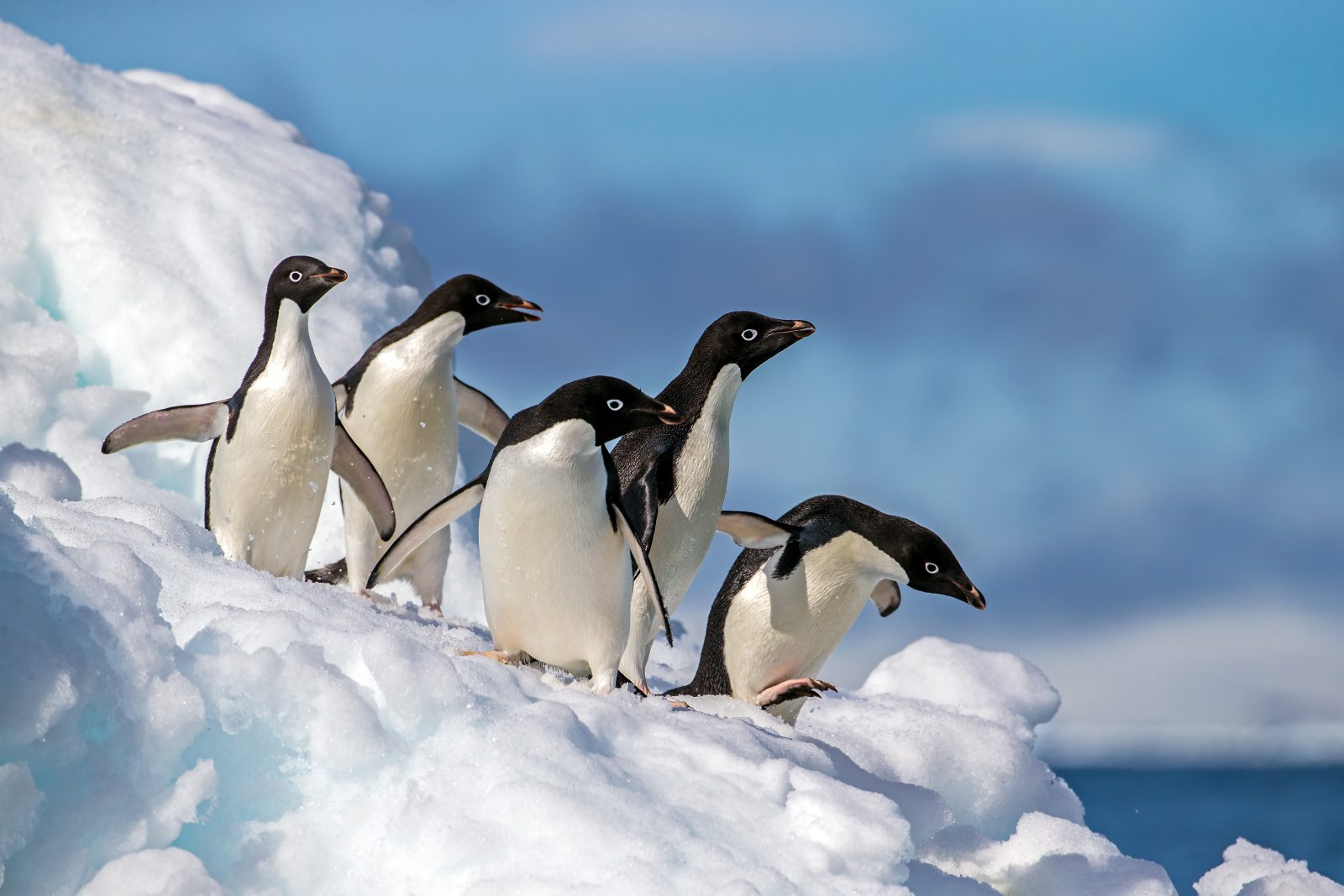 Adelie penguins on an iceberg in Antarctica