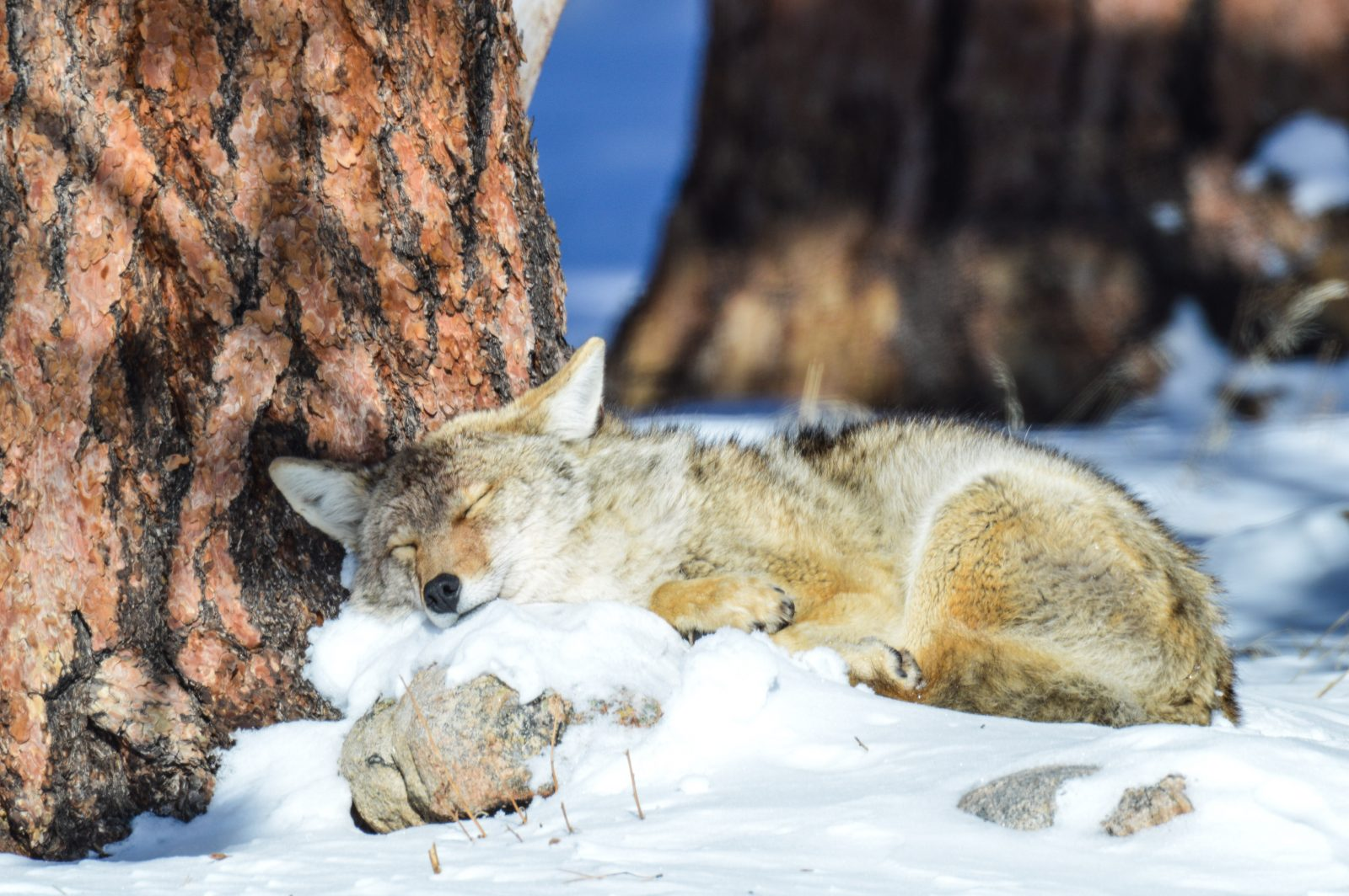 Napping Coyote