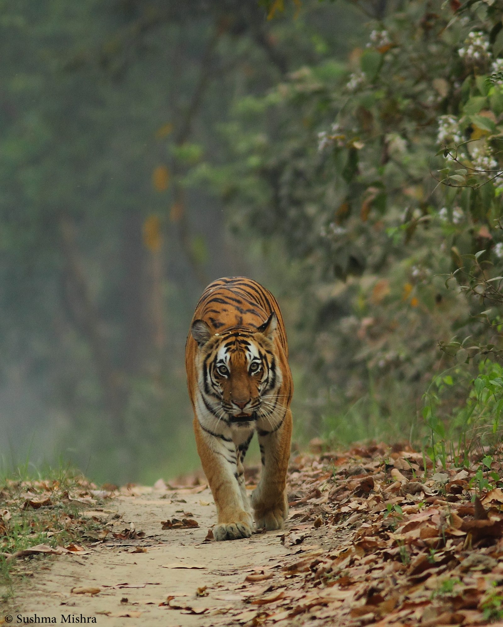 Walk of the Tiger